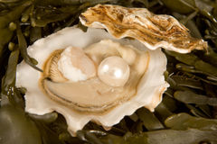 Open oyster with pearl. Large white pearl inside an open oyster shell Stock Image