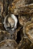 Open oyster to taste Royalty Free Stock Photo