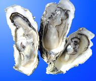 Open oysters. Ready to eat wedding breakfast Royalty Free Stock Photo