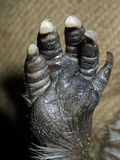 Open paw of a beaver foot and claws Stock Image