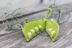 Open pea pod on a rustic old wooden table, curved tendrils of pea. Closeup royalty free stock images