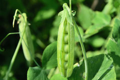 Open pea pod on a stalk growing in the garden Stock Photo