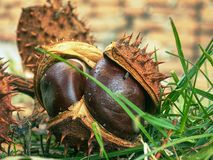 Open peels of fallen chestnuts on the grass ground royalty free stock photography
