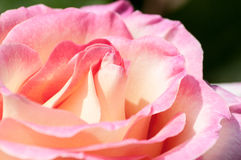 Open Petals of Pink Rose Stock Image