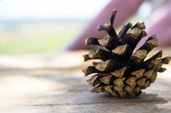Open pine cone. An open pine cone on a colored background royalty free stock photos