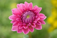 Open pink flower Stock Photography