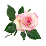 Open pink rose on white Royalty Free Stock Image