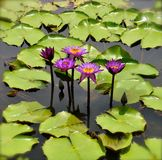 Open Pink water lilies. An side view of blooming pink water lilies floating in a pond stock images
