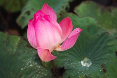 Open pink waterlily bud. Lotus flower. Close-up photo with selective focus stock photo