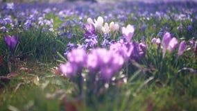 Open plek in het bos met de lentebloemen Krokussen en sneeuwklokjes ontspan stock footage