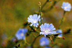 Open plek met bloeiend witlof Stock Foto's