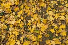 Open plek met gevallen esdoornbladeren wordt behandeld in schaduwen die van geel Royalty-vrije Stock Foto