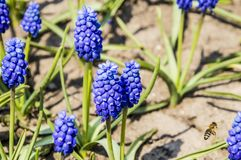 Open plek van blauwe bloemenmuscari royalty-vrije stock foto's