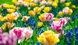 Open plek van kleurrijke verse tulpen in Keukenhof Stock Foto's
