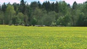 Open plek van paardebloemen met sheeps stock videobeelden