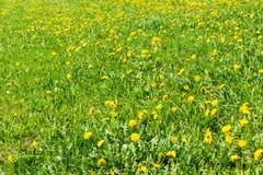 Open plek van verse paardebloemen op een zonnige de lentedag Bloeiende paardebloemen Uitstekende achtergrond voor de uitdrukking  stock afbeelding