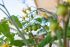 Free Open-pollinated Red Alert Tomato Plant On A Balcony Royalty Free Stock Image - 187636076