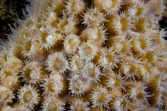 Close-up of coral head polyps at Bonaire Island in the Caribbean. Open polyp on coral reef head royalty free stock images