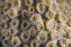 Close-up of coral head polyps at Bonaire Island in the Caribbean. Open polyp on coral reef head stock image