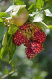 Open pomegranates on branch  in tree. Open pomegranates on branch in tree Stock Photos