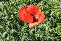 Open poppy flower in my garden. Bright red poppy flower surrounded by high green grass royalty free stock photos