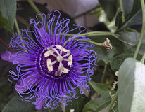 An open purple passion flower. Stock Images