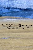 Open Range 2. Cattle on a ranch Stock Photos