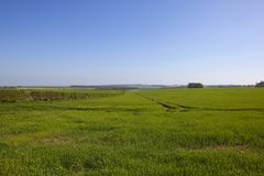Blue sky  over Yorkshire wolds wheat fields in springtime. Open range Springtime wheat fields with scenery under a blue sky in the Yorkshire wolds Stock Image