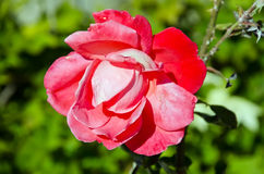 Open red rose bud Stock Images