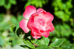 Open red rose bud Stock Image
