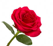 Open red rose with leaves Stock Images
