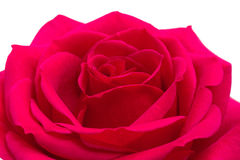 Open red rose on white Royalty Free Stock Photos