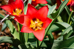 Open Red Tulip Stock Image