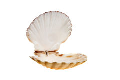 Open scallop shell Stock Images
