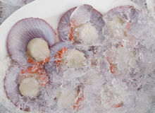Open scallops on ice Royalty Free Stock Photos