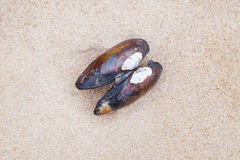 The open shell. Open shell on the sand Royalty Free Stock Photo