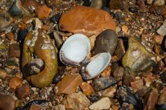 Open Shell on Shingle Beach. A bi-valve Cockle shell open on the beach showing the interior royalty free stock images
