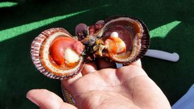 Open shell van het tweekleppige schelpdier met een binnen parel stock foto's