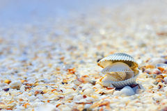 Open shells on beach Royalty Free Stock Photography
