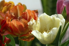 Open spring tulips. Nice open spring tulips in red and light yellow colours Royalty Free Stock Photos