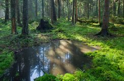 Open standing water inside coniferous stand Royalty Free Stock Photography
