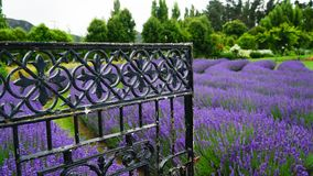 Open steel gate in lavender farm, New Zealand royalty free stock photography