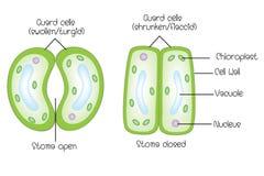 Open structuur van stoma en gesloten stoma stock illustratie