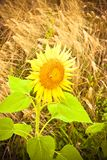 Open sunflower isolated in a wheat field Royalty Free Stock Images