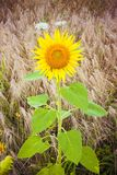Open sunflower  in a wheat field Stock Images
