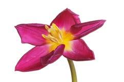 Open Tulip flower Stock Images