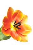Open tulip Stock Photo