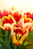 Open tulips Stock Photo