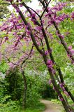 Open view of violet blossoming Cercis siliquastrum plant at El Capricho garden in Madrid Spain. During spring season Stock Photography
