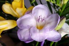 Open violet freesia Royalty Free Stock Photos